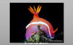 Hypselodoris bullockii by Jose Luis Aleman 